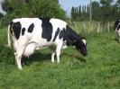 Milchkuh Maximiliane